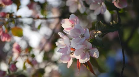 vegetativo : Spring flowering of trees in the garden. A blossoming garden with an apple and cherry trees - a sunny day in a spring park.