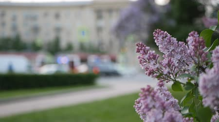színárnyalat : Lilac in a spring park. Blooming lilac with lush and beautiful flowers on the background of the city street.