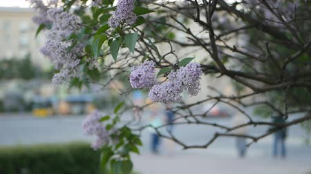 asal : Lilac in a spring park - a branch of lilac in the rays of the setting sun. Spring mood.