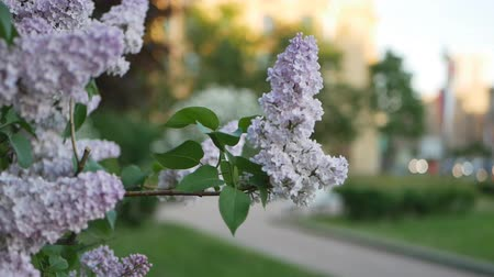 colore : Lilac in a spring park - a branch of lilac in the rays of the setting sun. Spring mood.