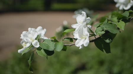 apple park : Apple tree in bloom - a sunny day in a spring park. Spring mood - lush white flowers on the branches of trees. Stock Footage