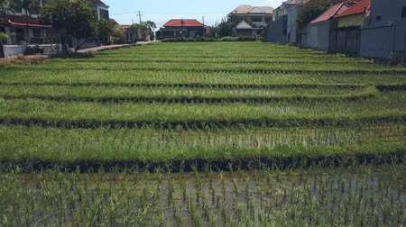 rice terrace in bali Stock Footage