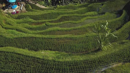 irrigate : green rice terrace in bali indonesia