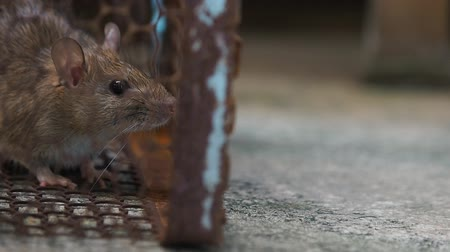 rodent control : rat in a cage catching a rat. the mouse has contagion the disease to humans such as Leptospirosis, Plague. Homes and dwellings should not have mice. concept of Sanitation and Health. Stock Footage