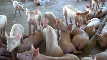 koşullar : Group of pig that looks healthy in local ASEAN pig farm at livestock. The concept of standardized and clean farming without local diseases or conditions that affect pig growth or fecundity Stok Video