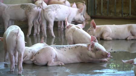 padronizada : Group of pig that looks healthy in local pig farm at livestock. The concept of standardized and clean farming without local diseases or conditions that affect pig growth or fecundity Vídeos