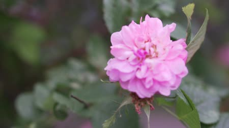 briar : Rosette in the wind. The flower of the dog rose swayed by a light wind. Sloumo Stock Footage