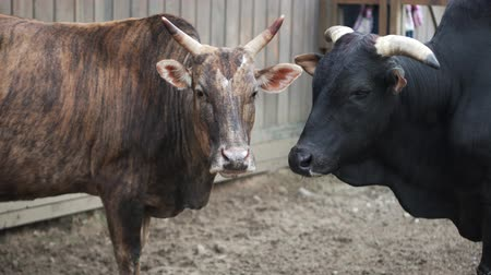 düve : two bulls are standing with a pen on the farm. One black color is the other. Animals look at each other. Contact Zoo VDNH