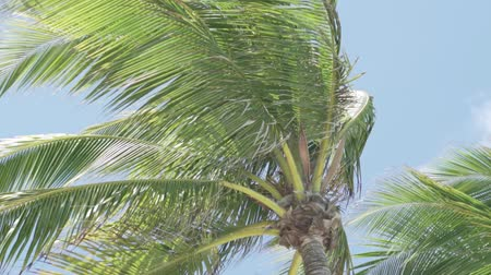 jamajka : palm leaves against the sky. Slowly move from the wind. an excellent screensaver on your computer. tranquility and dreams of a vacation Wideo