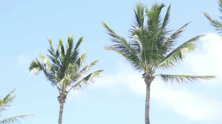 jamaica : Young palm trees against the background of the sunny sky. High slender palm trees. Beautiful view, relaxation and tranquility. Dreams about the sea