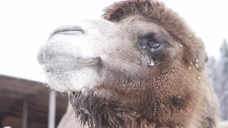 mastigação : Close-up of the face of a camel. He stands on the farms. Outside, winter and snow. A lot of wool, you can see how he chews food. Funny camel Stock Footage
