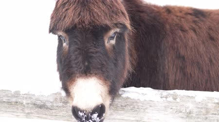 flâmula : Close-up of the muzzle of a sad donkey. He stands on a farm in the pen, on the street in winter and snow. The donkey is sadly amused