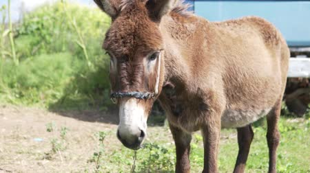 munch : Donkey on the farm. Close-up of the muzzle of a donkey. The animal is tied and looks into the camera. Stock Footage