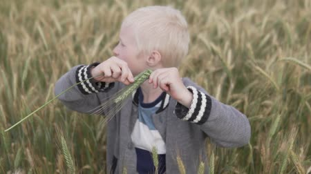 standlar : albino boy playing with wheat spikelets in a field. A cute blond boy ripped off the spikelets of rye in a field and plays them like musical instruments. The child looks at the spikelets of wheat