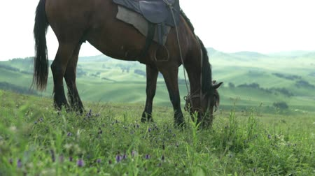 puledro : A beautiful brown horse nips and chews grass in the beautiful mountains of Altai. The horse descends from the mountain on a flowering field in summer