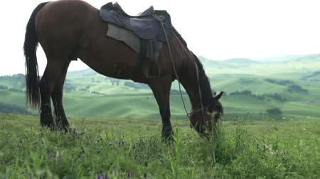 equestre : Beautiful sunset video of a horse in the Altai Mountains. Horse stinging grass on a big green meadow in summer Vídeos