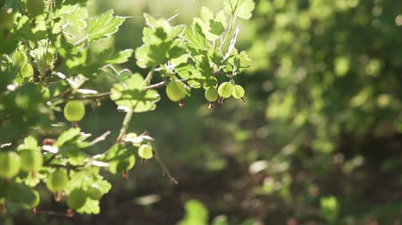 agrest : Beautiful berries of green gooseberry in the setting sun.