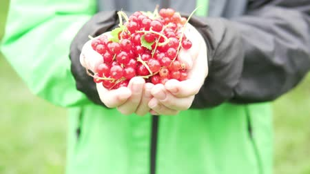 смородина : Childrens hands stretch a lot of red currant into the camera.