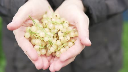 красная смородина : A woman stretches her white currant hands towards the camera. Close-up. Woman opens her palms with currant berries