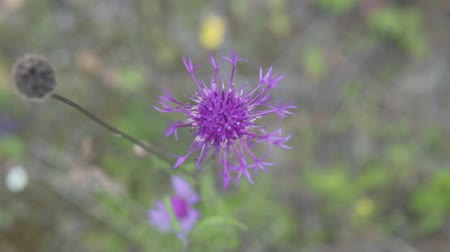 in the wild : Blue wildflower in the field. Purple flower moving in the wind. Close-up, slow motion Stock Footage