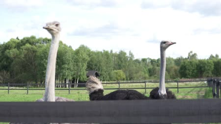 pštros : Two ostrich walk on the farm in summer.