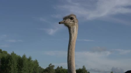 pštros : Funny ostrich with big eyes on the background of the sky in the summer on the farm