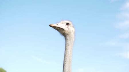 pštros : Ostrich slowly moves his head against the blue sky. Funny ostrich on a farm