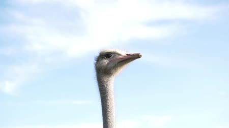 pštros : Ostrich slowly moves his head against the blue sky. Dostupné videozáznamy