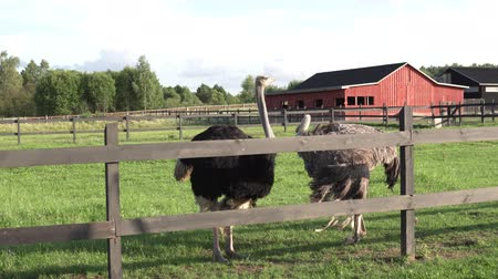 avestruz : Two ostrichs stand behind a fence in the summer on a farm.