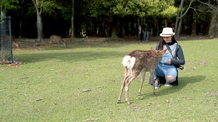 feeding ground : female elegant tourist crouch down to feed the cute sika deer