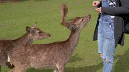 snatching : two hungry deer snatching while human is giving food to them in Nara Japan