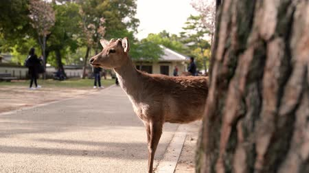 олененок : cute little brown deer standing in Nara deer park and looking at the camera