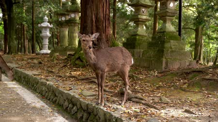 gamo : beautiful female tourist walking through the stone lanterns, touching and feeding the sika deer in the park