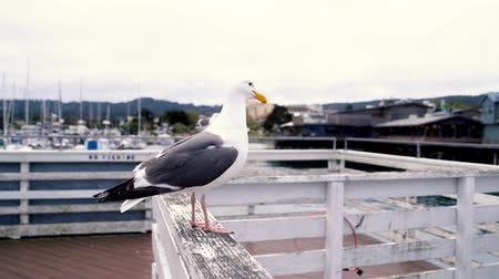 pescador : close-up view of a seagull talking loudly to everyone standing on the seaside. Seabird resting in warm sunlight in the harbor. cute bird on the handrail with blue sky in the back ground. Stock Footage