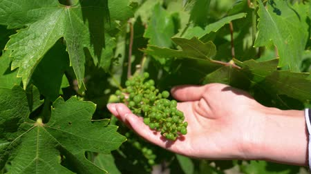 winogrona : female winemaker touching immature fruits in spring farm.