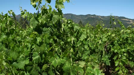viticoltura : Horizontal view of unripe bunches in grapes plantation on sunny day.