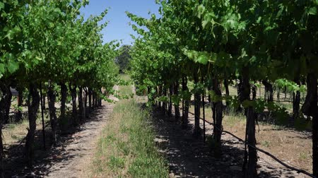 éretlen : View of shady path way through vineyard on hill with unripe grapes hanging from vine branches. early summer or spring in fruit farm scene with blue sky on sunny day. little walk road in wineries.