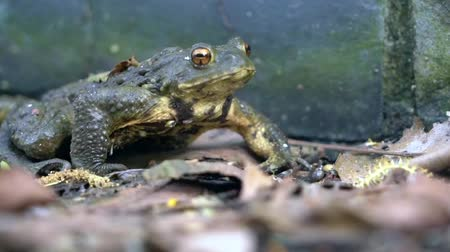 kurbağa : Green frog sitting motionless on the dirty wetlands