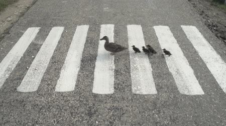 dehet : Slow motion shot of a mother duck and ducklings crossing the road on the white lines