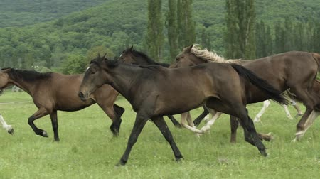 vadon : Slow motion shot of a beautiful horses galloping across the field in summer