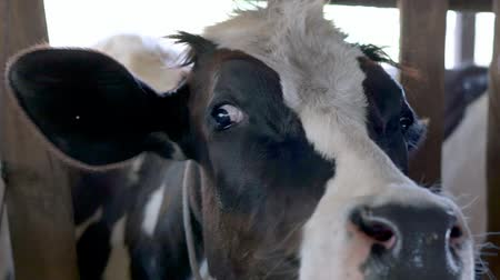 dairy cattle : Cow in the farm