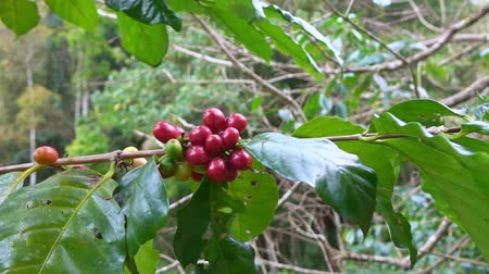 sperziebonen : close up coffee bean on coffee plant in northern forest Thailand. Stockvideo