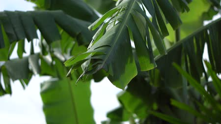 otsu : Banana leaf is tear, Tropical plant leaf on summer and wind flowing close up, Nature fresh concept.