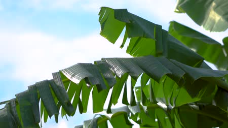otsu : Banana leaf is tear, Tropical plant leaf on summer and wind flowing
