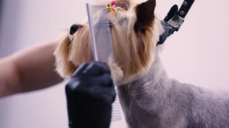 escovação : Dog Grooming At Pet Salon. Groomer Brushing With Comb