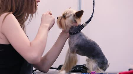 veterinário : Grooming Dog. Pet Groomer Brushing Dog Hair, Yorkshire Terrier At Animal Spa