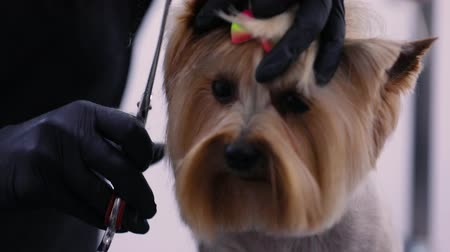 chovat : Dog Haircut At Pet Salon. Groomer Cutting Dog Hair With Scissors, Grooming Yorkshire Terrier Closeup
