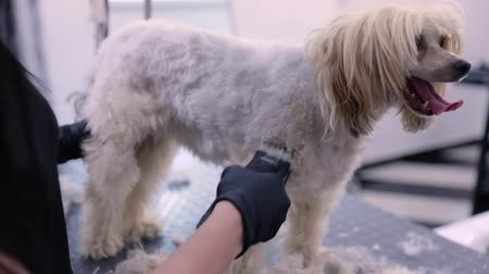 trim : Dog In Pet Grooming Salon Getting Hair Cutting With Trimmer