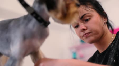 groomed : Pet Grooming Salon. Dog Getting Hair Cut At Animal Spa Salon Stock Footage