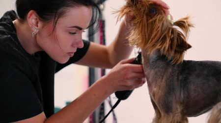 chovat : Dog Hair Cut At Grooming Salon. Groomer Cutting Dog With Trimmer, Yorkshire Terrier Getting Haircut